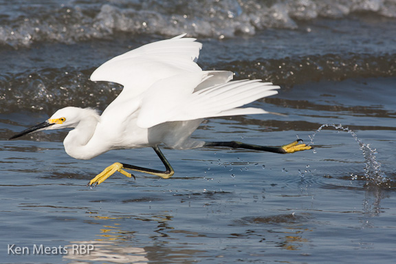 Snow Egret skipping across the water. copyright 2011 Ken Meats